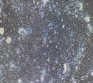 大鼠食管上皮细胞