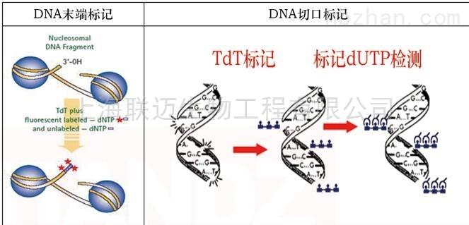 一站式生物素检测TUNEL试剂盒(DAB法)