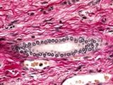 MS4014Basic Fuchsin 碱性品红 生物染色剂